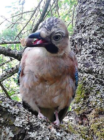 getupfter heimischer vogel